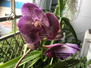 テーブルの上の紫色の花一杯の花瓶の写真・画像素材[752115]