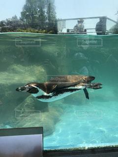 水のプールで泳ぐペンギンの写真・画像素材[752929]
