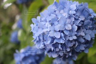 紫陽花 - No.784010