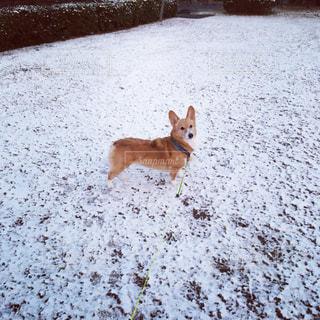 雪の中を走っている犬の写真・画像素材[822453]