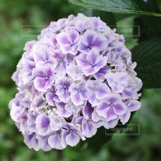 紫陽花の写真・画像素材[767424]