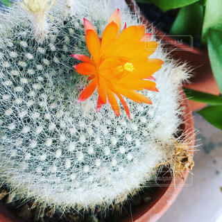 サボテンの花の写真・画像素材[753276]