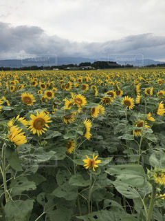 フィールド内の黄色の花 - No.755294