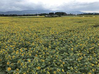 フィールド内の黄色の花 - No.755295