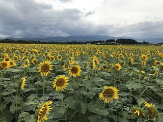 フィールド内の黄色の花 - No.755296