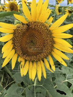 黄色の花 - No.755297