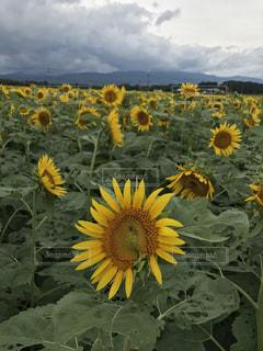 黄色の花 - No.755298