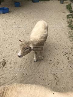 土の中の羊の立っています。 - No.755479