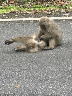 猿の上に横になっているシロクマ - No.755566