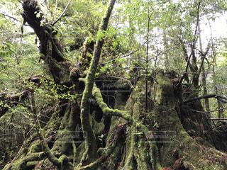 森の大きな木 - No.755582