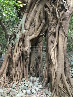 森の中のバナナの木 - No.755606
