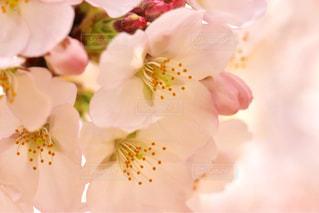 桜の写真・画像素材[1088976]