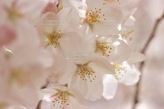 桜の写真・画像素材[1088980]