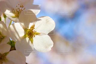 桜の写真・画像素材[1088982]