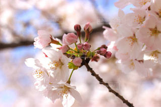 桜の写真・画像素材[1088983]