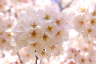桜の写真・画像素材[1088990]