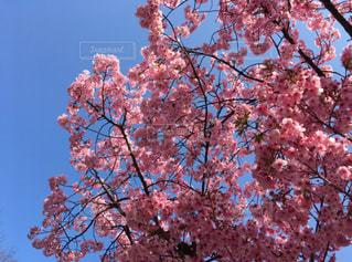 木の枝にピンク色の花の写真・画像素材[1691879]