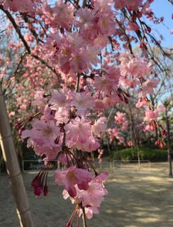 木の上のピンクの花の写真・画像素材[1691881]