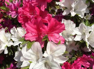 近くの花のアップの写真・画像素材[1691883]