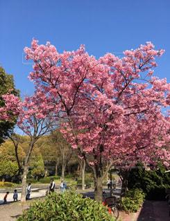 木にピンクの花の写真・画像素材[1691895]
