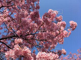 木にピンクの花の写真・画像素材[1691896]