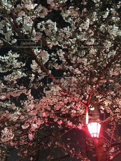 夜桜の写真・画像素材[1973005]