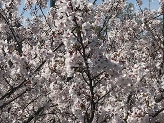 お花見の桜の写真・画像素材[1997914]