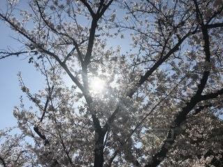 造幣局桜の通り抜けの写真・画像素材[1997927]