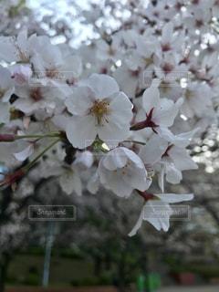 桜の写真・画像素材[2008161]