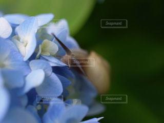 紫陽花とカタツムリの写真・画像素材[771531]
