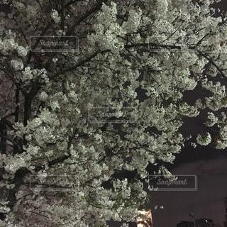木の黒と白の写真の写真・画像素材[754551]