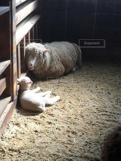 地面に横たわって羊の写真・画像素材[754892]