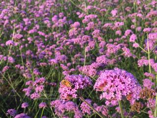 ミツバチの写真・画像素材[755814]