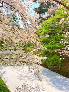 桜の絨毯の写真・画像素材[1092556]