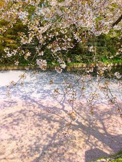 桜の絨毯の写真・画像素材[1092560]