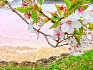 桜の写真・画像素材[1092625]