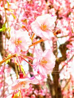 桜の写真・画像素材[1092627]
