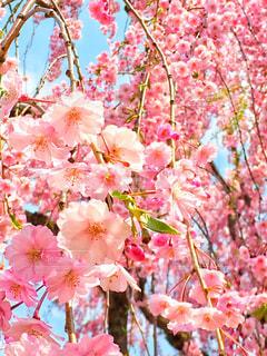 桜 - No.1092628