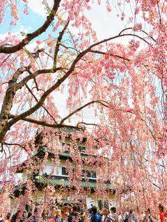 桜と城の写真・画像素材[1092629]
