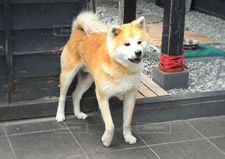 秋田犬の写真・画像素材[1211123]