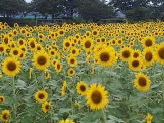 お花畑の写真・画像素材[23536]