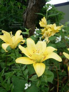 黄色のユリの写真・画像素材[802686]