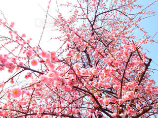 梅の写真・画像素材[757653]