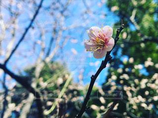 近くの花のアップピンクの梅の写真・画像素材[1029074]