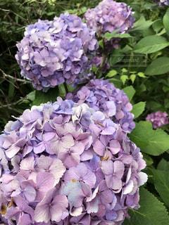紫陽花 - No.759340