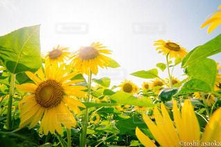 向日葵の写真・画像素材[759323]