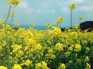菜の花の写真・画像素材[758074]