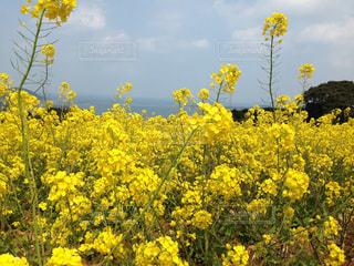 菜の花の写真・画像素材[759091]