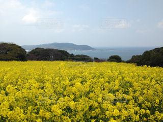 菜の花と海の写真・画像素材[759092]
