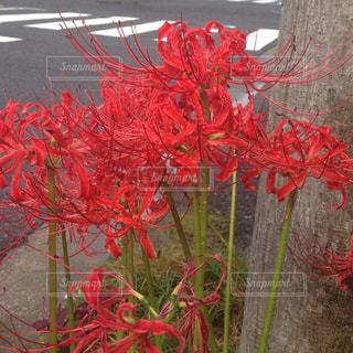 植物の赤い花の写真・画像素材[760473]